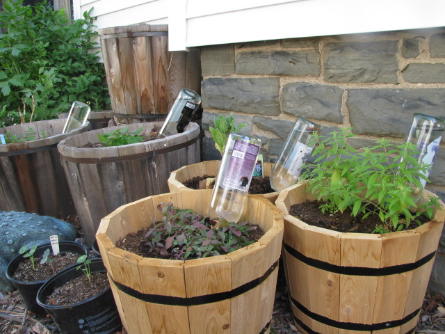 DIY Plant Watering Globes - Frugal Upstate on diy indoor self watering planter, diy indoor flower pot, diy basement wall panel system, diy indoor gardening system, self watering rain gutter grow system, self watering earthbox system, diy indoor plant pots, water bottle with drip irrigation system, diy plant watering devices, diy indoor plant growing system, diy drip irrigation system for plants,