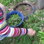 Free Food: Foraging Dandelion Greens
