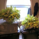 Overwintering Ferns year 3