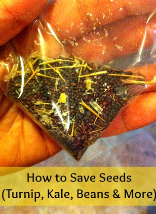 How to Save Seeds (from Kale, Turnip, Beans &