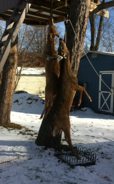 Deer hanging to dry age in tree