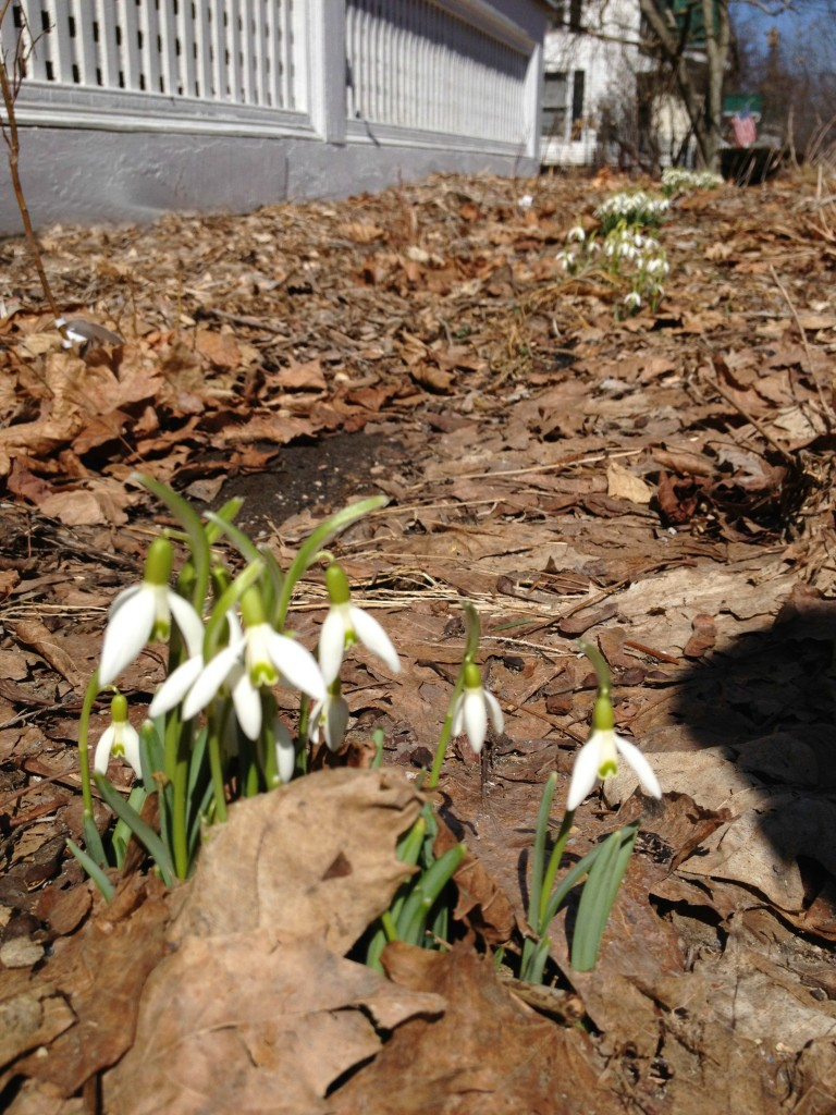 beautiful spring snowdrops