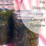 Canned Purslane — Eat the Weeds!