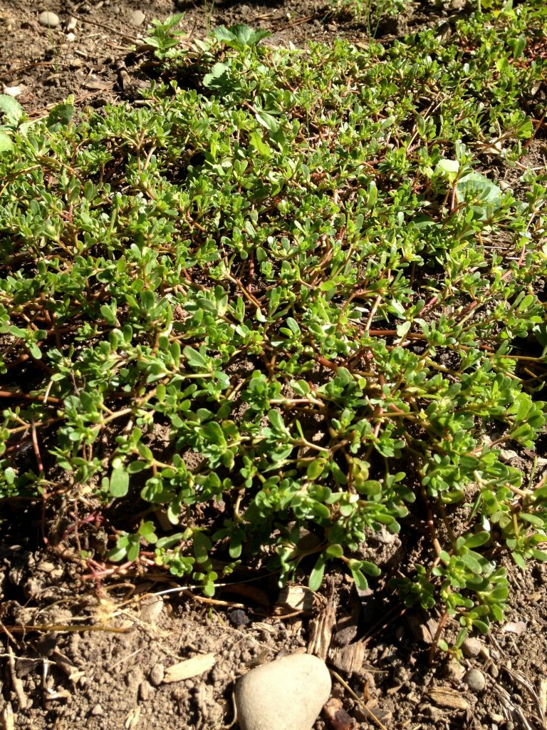purslane-in-the-garden